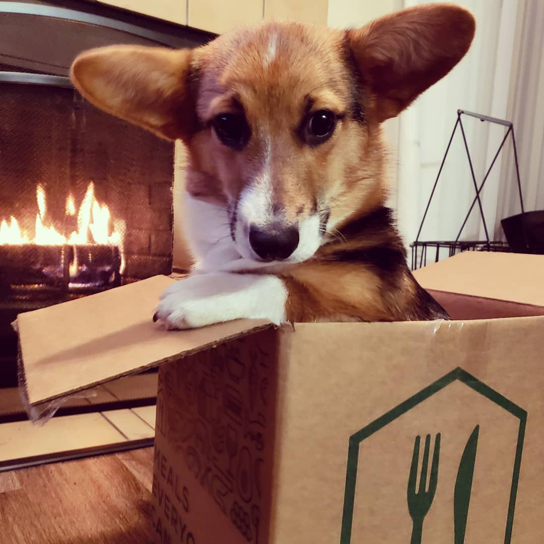 Corgi in a Home Chef box